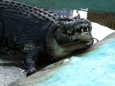 Lolong: The Biggest Captured Crocodile In The World