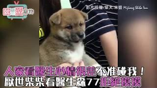 人家不跟你好了啦! 柴犬-米醬Mijiang Shiba Inu 的日常生活這裡看: htt...