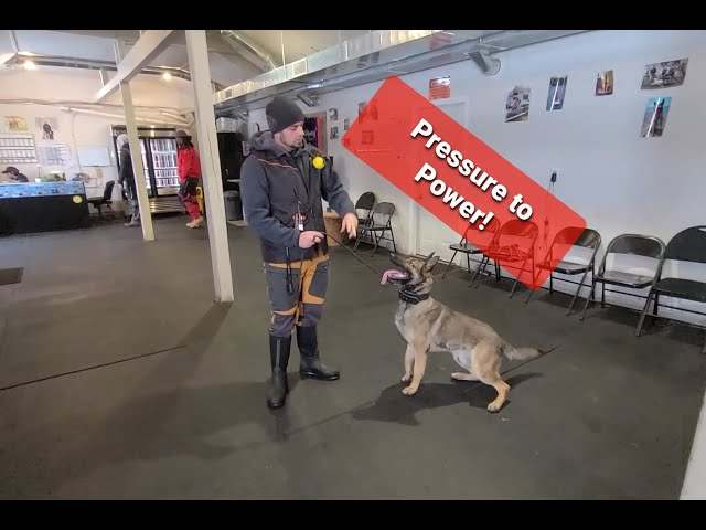 Training a SENSITIVE dog with the Electric Collar