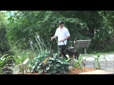 Scout (German Shorthair Pointer) Trained Dog Video
