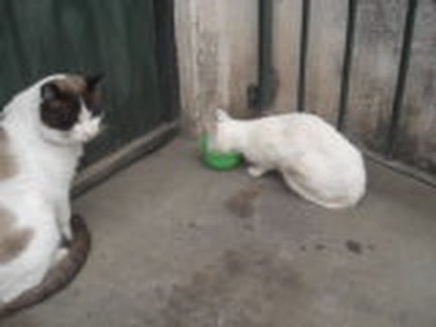 CATS FIGHTING OVER FOOD 2