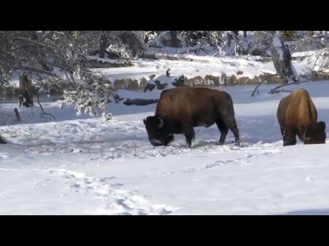 Bison lunch in Yellowstone's winter