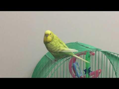 Dişi Muhabbet Kuşu ve Sesi - how to make a budgie talk