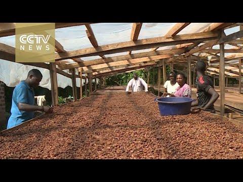 Uganda cocoa exports surge: Farmers hoping to reap big profits