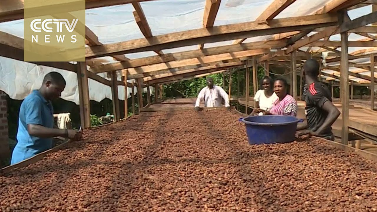 Uganda cocoa exports surge: Farmers hoping to reap big profits
