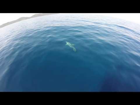 Dolphins in Croatia