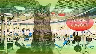 Смешное видео: кот, который научит тебя, как правильно качать пресс