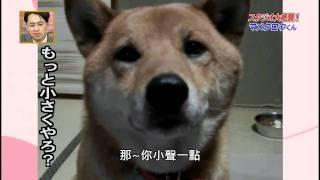 會控制音量的超可愛柴犬(中文字幕版) thumbnail