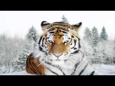 Interpretar sueños - Significado de soñar con tigres o un tigre