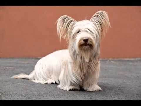 Dog Skye Terrier | Picture Collection Of Terrier Dog Breed
