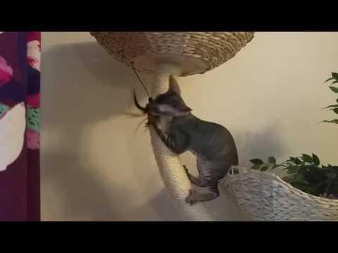Cornish rex kitten Hohto (Shining)