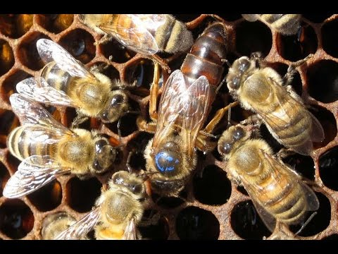 Sirve la reina jalea para de que real abeja