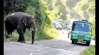 Elephant Crossing The Ooty Road In Bandipur Forests