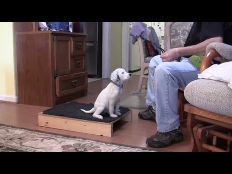 English Setter Puppies - Positive Reinforcement Training - 12 26 15
