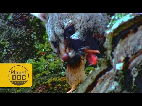 Spotted Genet Documentary | Express Planet Doc