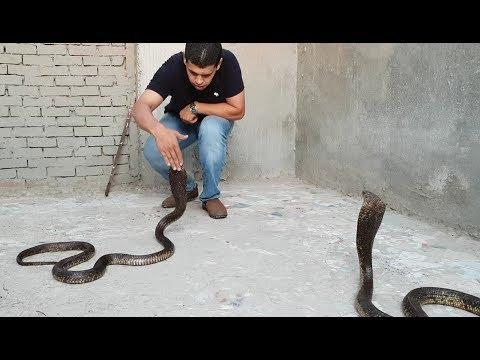 أهم وأخطر وثائقى عن أفاعى الكوبرا المصرية ( Naja haje) Egyptian Cobra  مع احمد الدكرونى