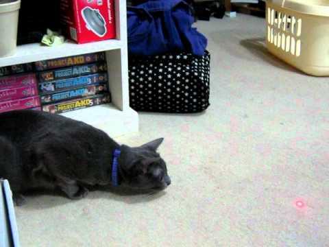 Maxi the Korat cat making clicker hunting noises