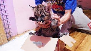 РАСПАКОВКА ГОРНОГО ЛЬВА. Первый день котёнка пумы в новой семье / Cougar kitten's first day