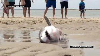 إنقاذ قرش أبيض على شاطئ كيب كود الأمريكي   16-7-2015