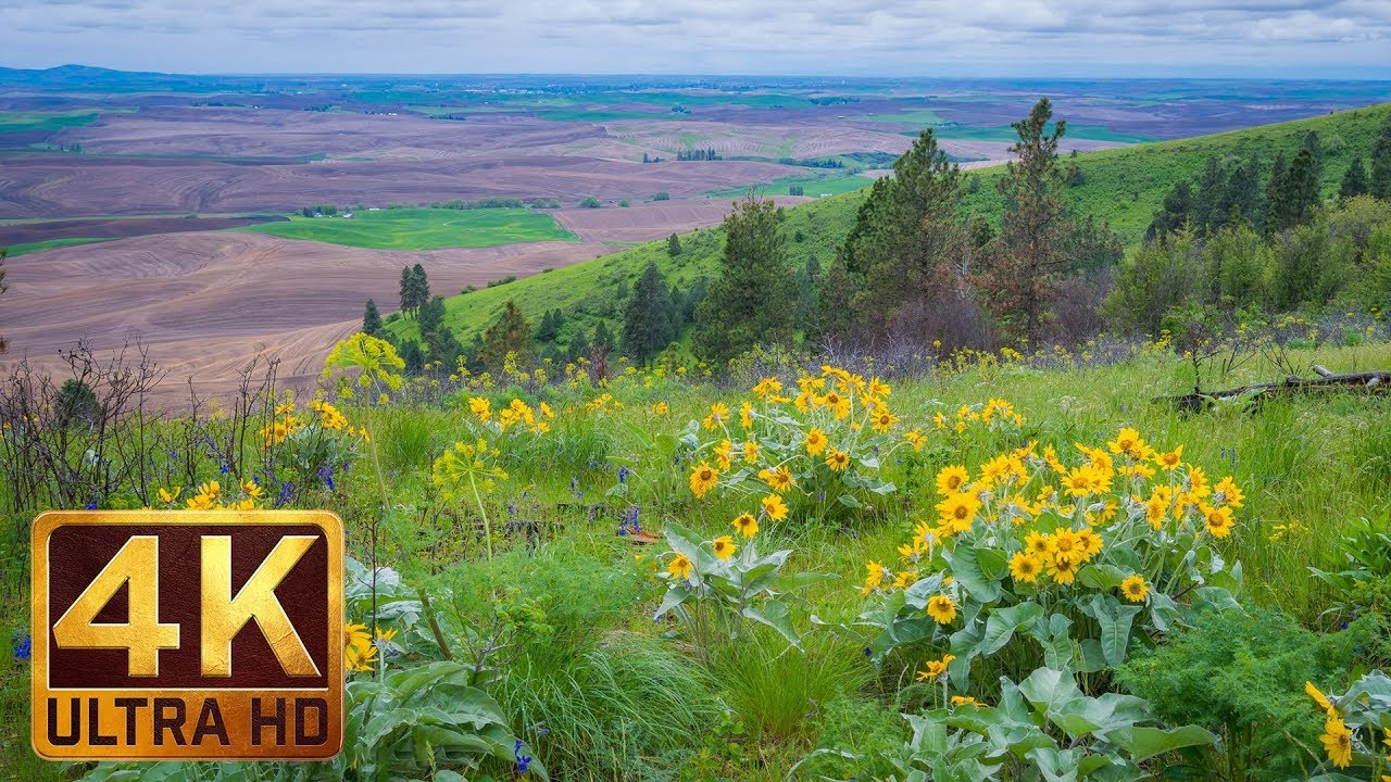 4k Ultra Hd Yellow Flowers Spring Flowers At Steptoe Butte State