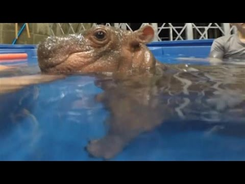 Premature Baby Hippo Goes for a Swim