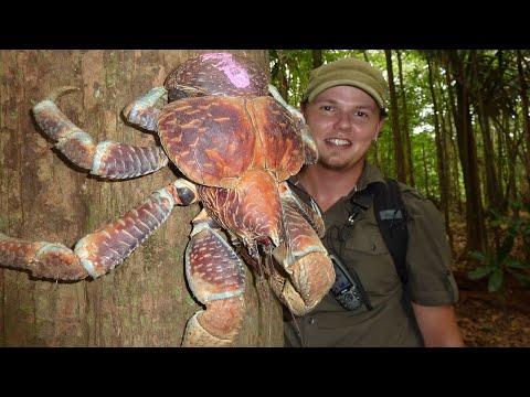Những Sự Thật Thú Vị Và Bất Ngờ Về Loài Cua Dừa Khổng Lồ.