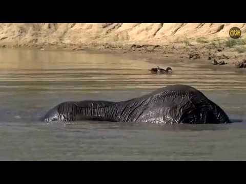 Watch elephants swimming LIVE from Great Kruger Park!