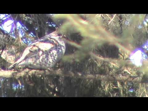 Видео охота на рябчика с манком 09мар16г