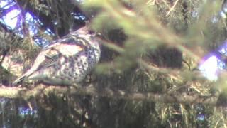 Охота на рябчиков весной видео