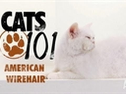 American Wirehair | Cats 101 - YouTube