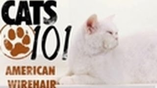 American Wirehair | Cats 101