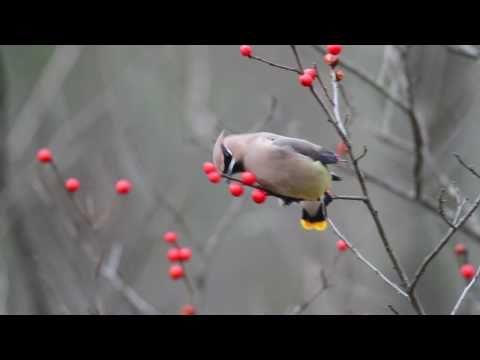 Cedar Waxwings HD- Canon 7D