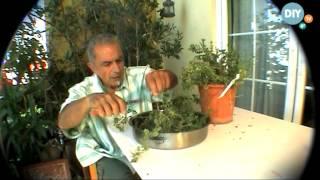 Αποξήρανση φρέσκιας ρίγανης apoxiransi freskias riganis @ www.diytv.gr