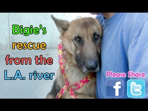 German Shepherd rescued from the Los Angeles River - Please share.