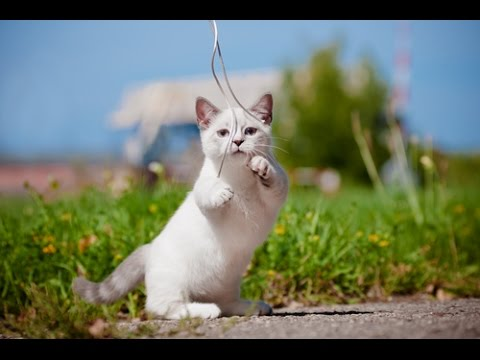 top 5 smallest cat breeds in the world youtube - Smallest Cat In The World Guinness 2016