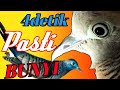 Perkutut Lokal Suara Betina Sangat Ampuh  Mp3 - Mp4 Download