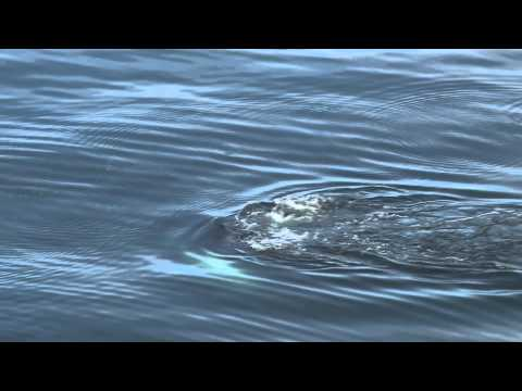 Humpback Whale in the High Arctic