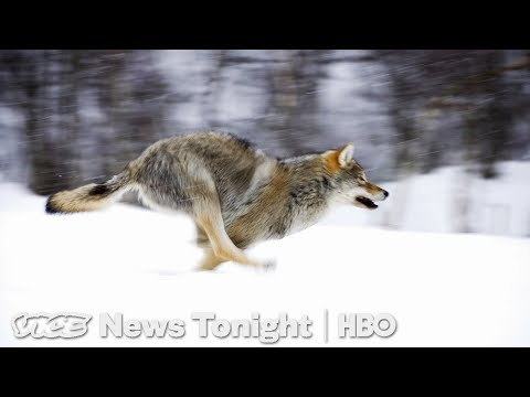 Cattle Ranchers Want The Right To Kill Some Wolves (HBO)