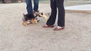 3 PAWED PUG PLAYING WITH YORKIE PUP!