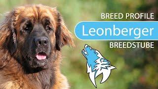 Leonberger Breed, Temperament & Training
