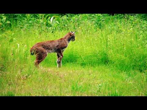 Cat Documentary ( Urdu / Hindi ) Full HD वृत्तचित्र फिल्म /دستاویزی فلم