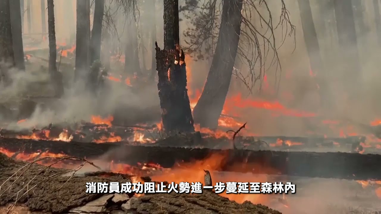 加州:  山火威脅紅杉樹森林 消防捍衛千年老樹