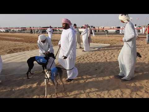 Abu Dhabi, Salukis races / Courses de lévriers