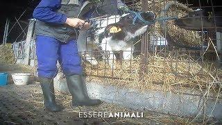 Macchine da Latte: maltrattamenti e violenze su vitelli e mucche - Essere Animali