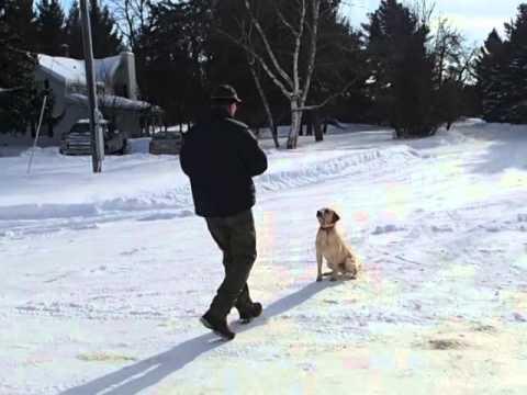 Duke Imported Trained Yellow Male British Labrador