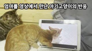 입양간 아기고양이가 엄마고양이의 영상을 보면 어떤 반응을 보일까? ( feat. 올랑엄마와 베르 )