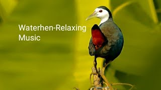 Download Mp3 White-breasted Waterhens Swimming & Singing In The River | Urban Area | Wate
