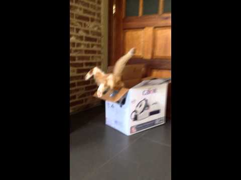 Swakke the cat hilarious box fail