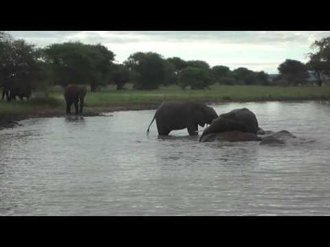 Bathing Elephants in Tarangire National Park--Africa