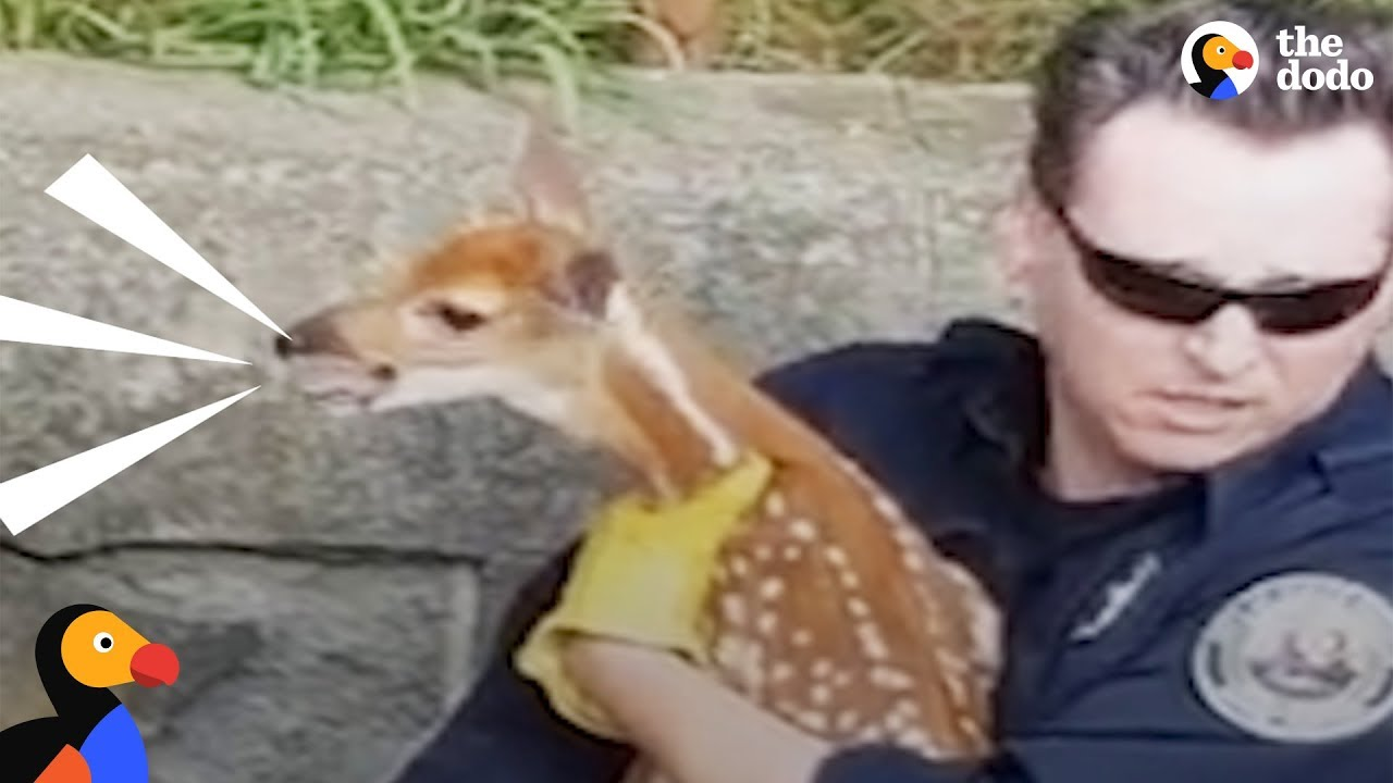Crying Baby Deer Reunited With His Mom